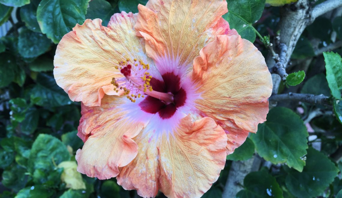 Orange and pink Hibiscus flower plant